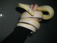 Wonderful Albino kingsnake male