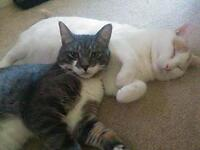 """Adult Male Cat - Domestic Short Hair: """"Oliver and Louie"""""""