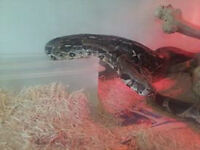 8 Foot Columbian Red Tail Boa Constrictor