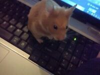 8 month old ginger hamster and accesories