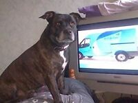 Free to good and loving home, 9yr old staffy