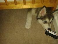 Puppy Dog Northern Inuit