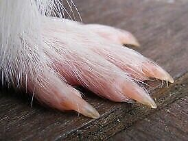 Guinea Pig Nail Clipping