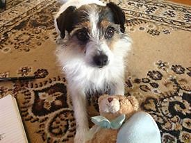 Lost Jack Russell x in Glenroy Glenroy Moreland Area Preview