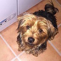 yorkshire terrier (yorkie)