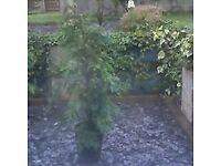 Evergreen Conifers 6ft high