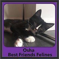 Osha - Best Friends Felines Spring Hill Brisbane North East Preview