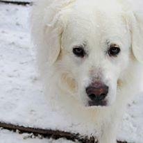 "Adult Male Dog - Great Pyrenees: ""Arrow Oliver"" Strathcona County Edmonton Area image 2"