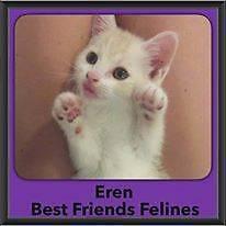 Eren - Best Friends Felines Zillmere Brisbane North East Preview