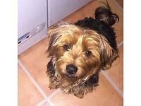 male yorkshire terrier (yorkie)