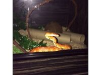 Corn Snakes and Vivariums