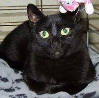 "Young Female Cat - Domestic Short Hair: ""Sherrie 15 (BC)"""