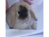 Beautiful mini lop baby rabbit