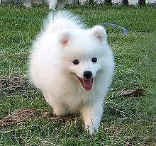 Japanese Spitz female preferably puppy Thornlie Gosnells Area Preview