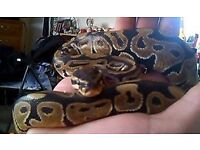 Royal Ball Python ( Male )