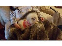 Pekingese cream Female