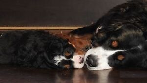 BERNESE MOUNTAIN DOG AVAILABLE END OF AUGUST