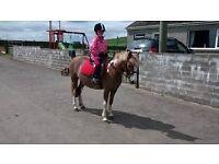 12hh chestnut skewbald mare for sale