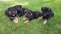 German Shepard Puppies For Sale only 4 left