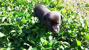 Hound Cross Puppies for Sale