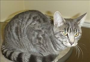 "Young Female Cat - Domestic Short Hair: ""Briar"""