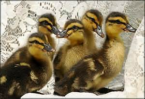 4 pekin and 10 Rouen ducklings available