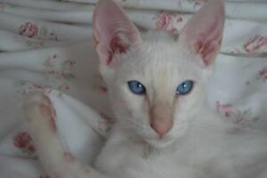 STUNNING CLASSIC CREAM POINT & TORTIE POINT SIAMESE KITTENS Stratford Kitchener Area image 1