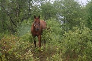 Registered Appaloosa Mare in Foal Belleville Belleville Area image 1