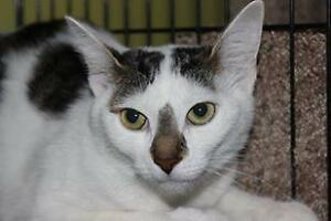 """Young Female Cat - Domestic Short Hair: """"Lolly 16 (FD)"""""""