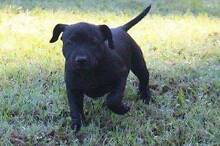 English Staffordshire bull Terriers -  black staffy pup Buderim Maroochydore Area Preview