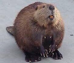 ISO Beavers