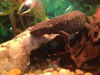 Great Crested Newt & Accessories