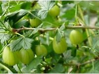1 x GOOSEBERRY BUSH PLANT for £ 3 or 2 plants for £ 5