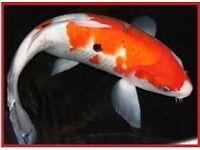 Koi Pond Fish 20-40 various sizes for Free
