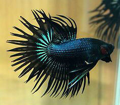 Black Orchid Crowntail Betta Fish