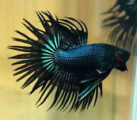 Black Orchid Crowntail Bettas