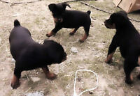 PUPPIES!  Large Rottweiler Pups - Beautiful, Great Temperment
