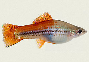 Beautiful, Healthy young swordtail fish