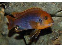 Rusty cichlid