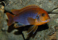 "Small African Cichlids for sale 1""+ inches"