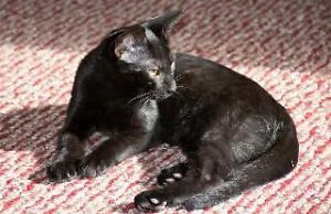 "Baby Male Cat - Domestic Short Hair-black: ""Tao"""