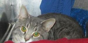 "Young Male Cat - Tabby: ""Angelo"""