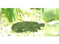 pleco approx 10 inch long ,lovely looking pleco..