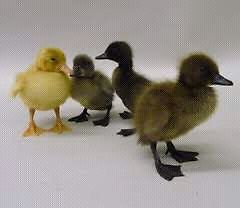 Ducklings  ducks from $8 each Thomastown Whittlesea Area Preview