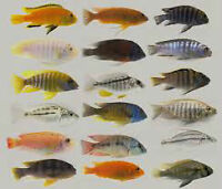 Male Cichlids