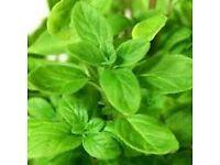 Marjoram Sweet - Growing in 7cm Pot –Full of Flavour - 50p each.