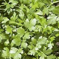 Coriander Confetti herb plants - Growing in 7cm Pot –Full of Flavour - from 50p each