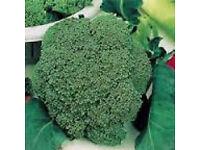 Broccoli Sakura – Tray of 6 for £1.00