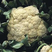 Cauliflower - All Year Round – Tray of 20 for £1.00