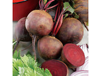 Beetroot – Boltardy Tray of 20 for £1.00 NOW BACK AGAIN